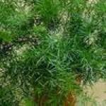 Семена аспарагуса