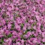 Семена смолевки