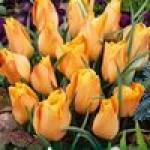 Луковичные цветы летние