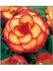 Бегония пикоти Желто-красная (Begonia picotee)