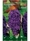 Гиацинт Кинг Кодро (Hyacinthus King Codro)