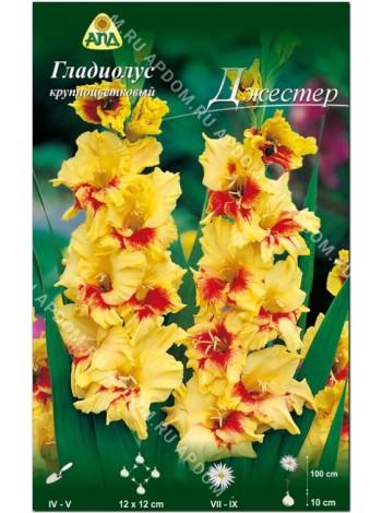 Гладиолус Джестер (Gladiolus Jester)
