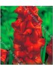 Гладиолус Эспрессо (Gladiolus Expresso)