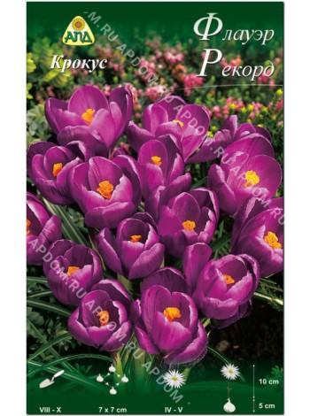Крокус Флауэр Рекорд (Crocus vernus Flower Record)