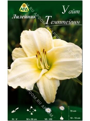 Лилейник Уайт Темптейшн (Hemerocallis White Temptation)