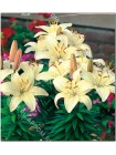 Лилия Айвори Пикси (Lilium asiatic pot Ivory Pixie)