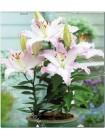 Лилия Акустик (Lilium oriental pot Acoustic)