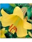 Лилия Голден Слендор (Lilium trumpet Golden Splendor)