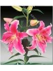 Лилия Каррибиан (Lilium oriental Carribean)