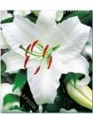 Лилия Каса Бланка (Lilium oriental Casa Blanca)