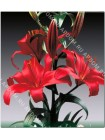 Лилия Консепшн (Lilium asiatic Conception)