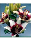 Лилия Куритиба (Lilium asiatic pot Curitiba)