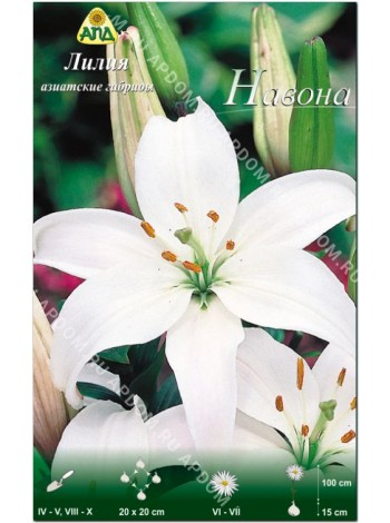 Лилия Навона (Lilium asiatic Navona)
