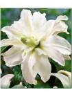 Лилия Полар Стар (Lilium oriental Polar Star)