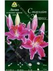 Лилия Старлайт Экспресс (Lilium oriental pot Starlight Express)
