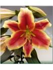 Лилия Холанд Бьюти (Lilium OT Holland Beauty)