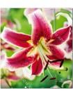 Лилия Шехеразада (Lilium orienpet Scheherazade)