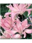 Лилия Элоди (Lilium asiatic Elodie)