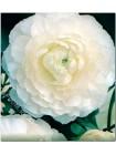 Ранункулюс махровый Белый (Ranunculus asiatic )