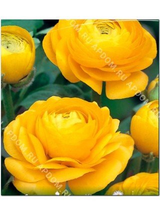 Ранункулюс махровый Желтый