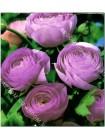 Ранункулюс махровый Фиолетовый (Ranunculus asiatic )