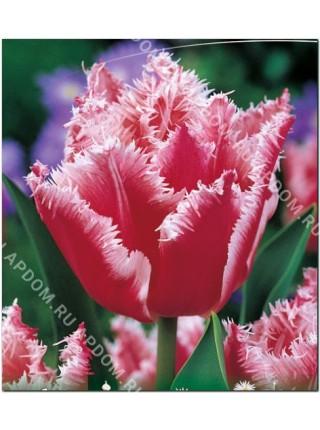 Тюльпан Бэлл Сонг