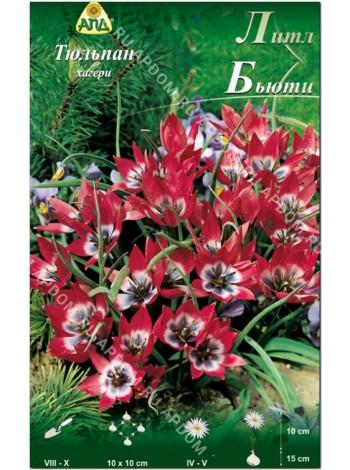 Тюльпан Литл Бьюти (Tulipa hageri Little Beauty)