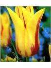 Тюльпан Мона Лиза (Tulipa Mona Lisa)