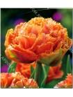 Тюльпан Сенсуал Тач (Tulipa Sensual Touch)
