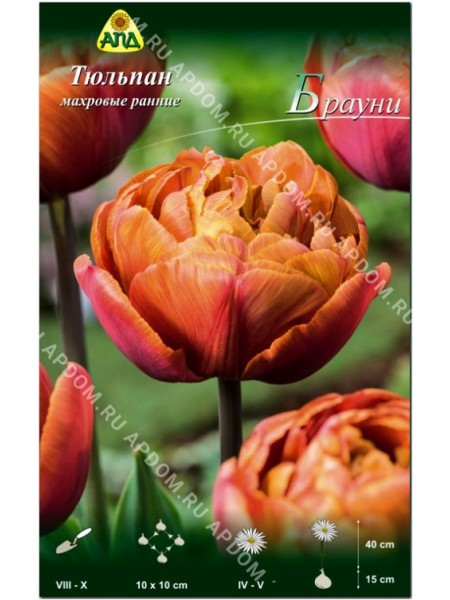 Тюльпан Брауни