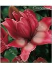 Лилия Дабл Сенсейшн (Lilium asiatic Double Sensation)