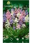 Гиацинт Аиолос (Hyacinthus Aiolos)