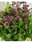 Душица (Origanum vulgare)
