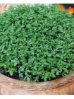 Кресс-салат (Lepidium sativum L.)