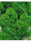 Петрушка кудрявая (Petroselinum crispum)