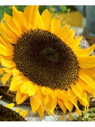 Подсолнечник посевной Желтый Гигант