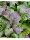 Горчица салатная Осака (Brassica juncea)