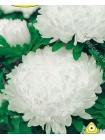 Астра китайская Дюшес белый (Callistephus chinensis)