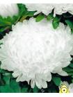 Астра китайская Перла (Callistephus chinensis)