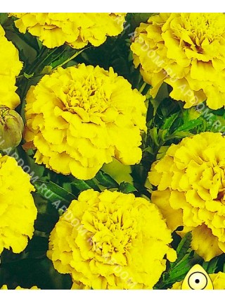 Бархатцы Лимонная Капля
