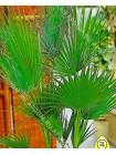 Вашингтония (Washingtonia filifera)
