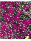 Лобелия Розамунд (Lobelia erinus)
