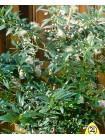 Мирт (Myrthus coomunis)