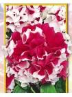 Петуния махровая Красный Пируэт F1  (Petunia grandiflora )
