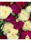 Гвоздика Шабо Банаберри Физз (Dianthus caryophyllus)