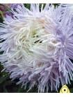Астра китайская Павлова Бело-лиловая (Callistephus chinensis)